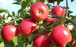 """Táo là loại trái cây """"vàng"""" cho sức khỏe nhưng 100% chúng ta đều mắc sai lầm này khi ăn"""