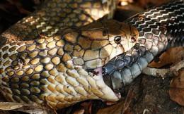 """""""Tự sát"""" bằng cách ăn chính mình - bí ẩn kinh dị ở loài rắn đã có lời giải"""