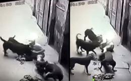 Hàng loạt vụ chó nuôi hung dữ tấn công chủ và người nhà gây chấn động