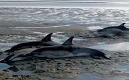 Gặp cá heo mắc cạn, đừng bao giờ thả ngay chúng về lại tự nhiên vì 1 lý do quan trọng