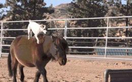 Chuyện lạ: Chú chó có biệt tài cưỡi ngựa không cần dây cương, điều khiển ngựa giỏi như con người