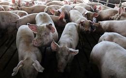 Nguy cơ xâm nhiễm đại dịch lợn nhập lậu từ Trung Quốc