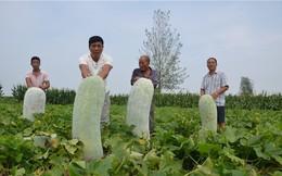 24h qua ảnh: Nông dân Trung Quốc thu hoạch bí khổng lồ