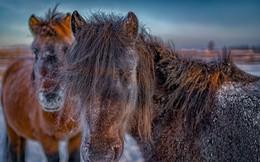 """Ngắm """"siêu ngựa"""" cực hiếm tại vùng đất băng giá Siberia"""