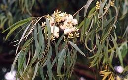 Nghi cây 'đẻ' ra vàng, công ty ở Australia mang lá về phân tích