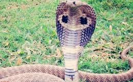 Người đàn ông cho rắn hổ mang cắn lưỡi để cai nghiện