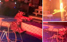 Hổ cái ngã quỵ trong rạp xiếc ở Nga, bị người huấn luyện túm đuôi kéo đi vì lý do ai nghe xong cũng bất ngờ