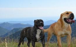 Top 11 giống chó hung hăng nhất thế giới (Phần 2)