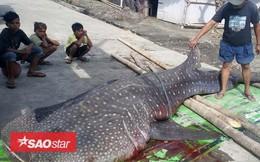 Sự thật gây sốc sau cái chết của cá mập voi