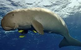 Đau lòng chuyện ăn thịt 'nàng tiên cá' dưới biển để... sung mãn ở Phú Quốc