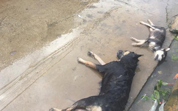 Hình ảnh hàng chục chú chó của cả xóm bị kẻ xấu đánh bả chết trong đêm khiến nhiều người phẫn nộ