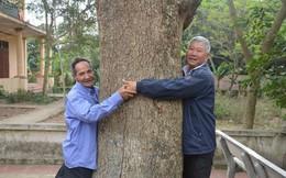Đòi bán cây sưa 400 tuổi giá 100 tỷ: Huyện Thuận Thành nói gì?