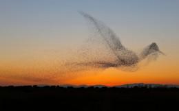 """24h qua ảnh: Đàn chim sáo đá bay thành hình chim """"quái vật"""" khổng lồ"""