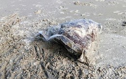 Thịt động vật đóng gói phân hủy mạnh dạt bất thường vào bờ biển TT-Huế