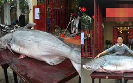 Thực hư chuyện đại gia Hà Nội mua cá khổng lồ giá trăm triệu về ăn Tết