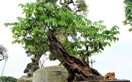1,4 tỷ đồng chậu sưa đỏ bonsai ở Hà Nội