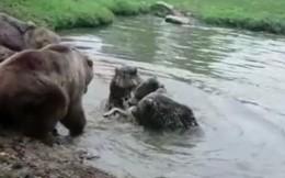 Đàn gấu xé xác sói cái trong vòng 'một nốt nhạc'
