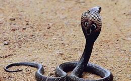 Tuyệt chiêu đối phó khi bị rắn hổ mang chúa tấn công