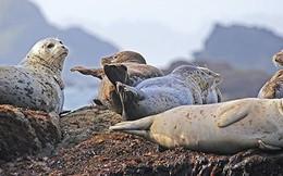 Scotland: Người đàn ông đi câu cá mắc kẹt trên vách đá hàng giờ vì bị 50 con hải cẩu truy đuổi
