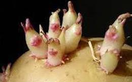 Nguy cơ ngộ độc thực phẩm từ khoai tây mọc mầm