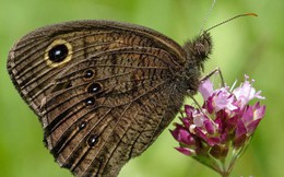 Đố bạn biết tai của con bướm nằm ở đâu?