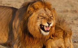 Sư tử đực cười tít mắt trên đường đi tìm bạn tình