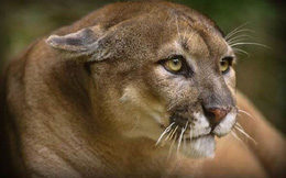 Báo Florida, loài sư tử có cái đuôi thỏ