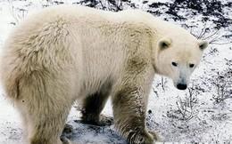 Người Eskimo lạc quan về khả năng thích nghi của gấu Bắc Cực