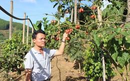 Cà chua thân gỗ: Ế hay không đủ cung?
