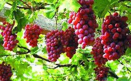 Công dụng chữa bệnh của trái nho và các chế phẩm từ nho