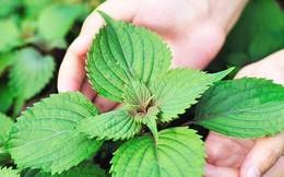 Loại rau thân quen này không chỉ là gia vị, bạn có thể sử dụng làm thuốc chữa bệnh nếu biết cách