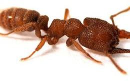 """Sở hữu cú kẹp hàm tốc độ 320 km/h, cắn một phát chỉ mất 0,000015 giây, loài kiến lạ được vinh danh """"động vật nhanh nhất thế giới"""""""