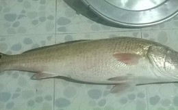 Bắt được cá nghi sủ vàng nặng 4,5 kg ở Bình Định