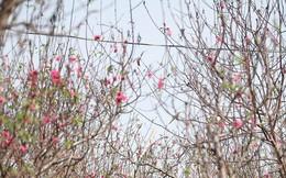 Hà Nội: Đào Nhật Tân nở sớm bung đỏ rực trong nắng đông