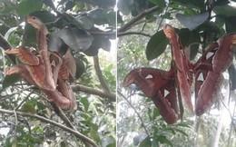 """Bức ảnh sinh vật lạ """"bươm bướm lai rắn nâu"""" đậu trên cây bưởi khiến dân mạng hoang mang tranh cãi"""