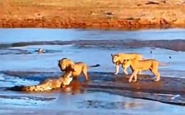 Màn giao chiến ác liệt giữa cá sấu với sư tử