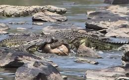 Vượt sông, linh dương con bị cá sấu xé xác