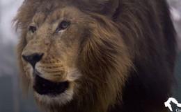 Sư tử sổng chuồng, giết chết nữ thực tập sinh