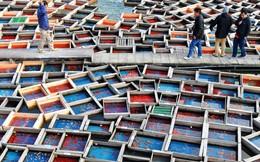 24h qua ảnh: Chợ đấu giá cá vàng ở Nhật Bản