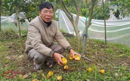 """Chuột phá mất cả chục triệu đồng mỗi đêm trong vườn cam quý """"tiến vua"""", nông dân bất lực"""
