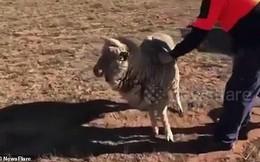 Ám ảnh giây phút cuối đời của chú cừu kiệt sức vì hạn hán tàn khốc