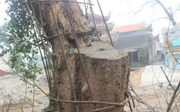Cận cảnh cây sưa trăm tỷ đang chết dần chết mòn sắp được chặt hạ trước Tết Nguyên đán