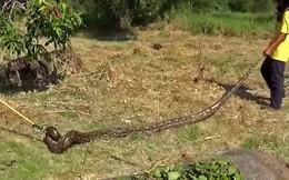 Video: 'Hoảng hồn' khi đụng phải trăn khủng 5 mét trong bụi rậm