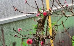 Đào thất thốn Nhật Tân 'tôn luyện thập kỷ' có gì đặc biệt?