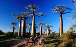 """Nguyên nhân cây """"biểu tượng ngàn năm"""" châu Phi chết hàng loạt"""