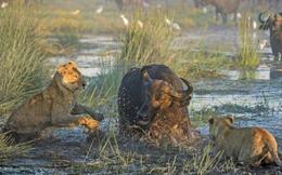 Thế giới động vật: Sư tử bị chính con mồi tấn công, phải đi cầu cứu