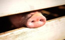 Lợn nặng nửa tấn, to như gấu Bắc cực: Nông dân Trung Quốc chăn nuôi phản khoa học?