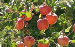 Hái một quả táo để biết được điều tốt đẹp nào đang chờ đợi bạn trong tương lai