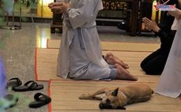 Chú chó của nghệ sĩ Xuân Hiếu bỏ ăn, nằm phục bên linh cữu chủ