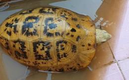 Người dân bắt được rùa có màu vàng lạ ở Bình Dương
